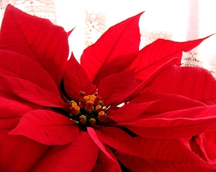 Staff allergy prompts poinsettia ban at Bell's biggest office