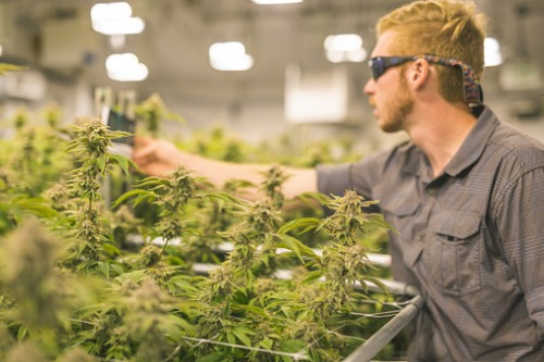 Pot industry on a gold rush for skilled labor