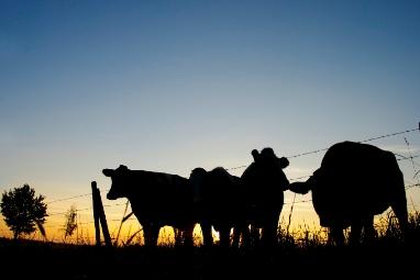 Weak cattle prices highlight need for livestock insurance