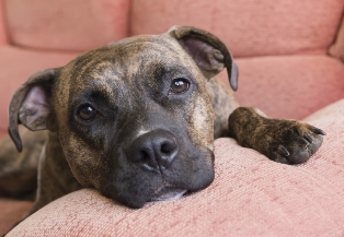 Pit Bulls And Rottweilers Scare Insurers Away Ibc Insurance Business